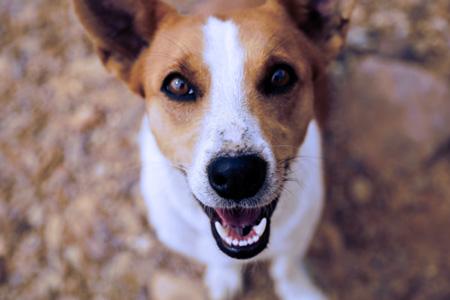 Jack Russell dog, Metuchen, NJ